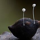 Micro fungi (Tara Ridge) by Steve Axford