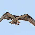 Osprey with catch by Karl R. Martin