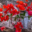 Beautiful and Bright Red Bougainvillea Flowers by Jon Shore