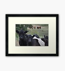 Belted galloway in the padock Framed Print