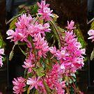 Pink Hanging Basket Plant - Zygocactus Lilac Princess by Geoffrey Higges