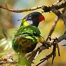 Rainbow Lorikeet, Emerald, Central Queensland. by InnerPassion