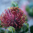 Leucospermum Patersonii in Deep Red by imaginethis