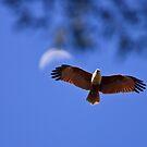 Brahminy Kite by David de Groot