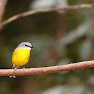 Eastern Yellow Robin by David de Groot