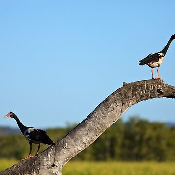 Magpie Geese by dadegroot