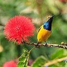 Olive-backed Sunbird by David de Groot