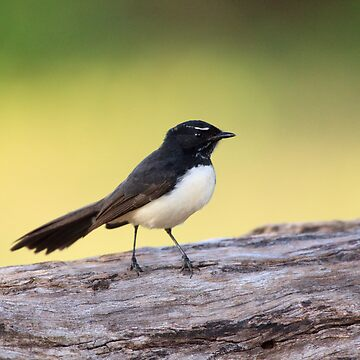 Willie Wagtail by dadegroot