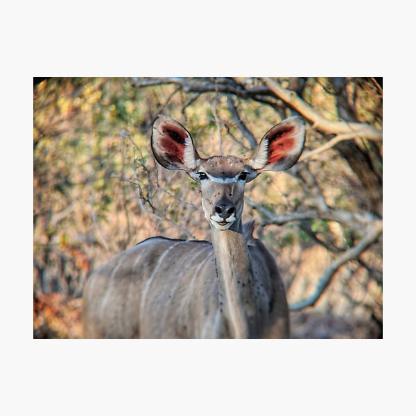 African Antelope Photographic Print