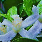 calamondin blossoms by ANNABEL   S. ALENTON