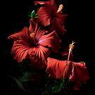 Red Hibiscus Trio by Ann Garrett