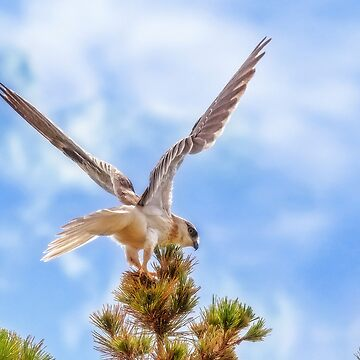 Black Shouldered Kite, Mindarie, Perth, Western Australia by MADCAT