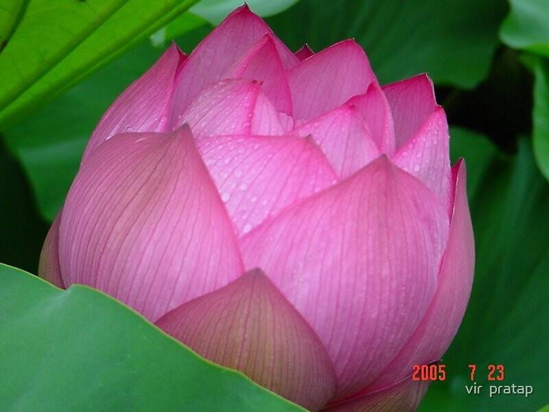 lotus by vir  pratap
