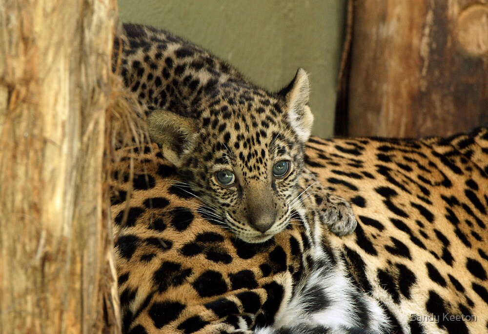 Baby Jaguar by Sandy Keeton