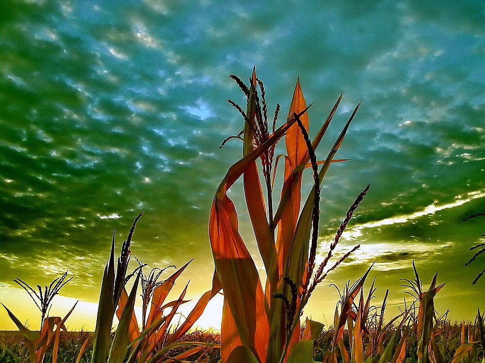 Sunrise at Cornfield by robertpatrick