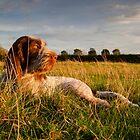 Spinone Puppy Sunset by heidiannemorris