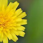 Rectangular Dandelion by pyettphoto