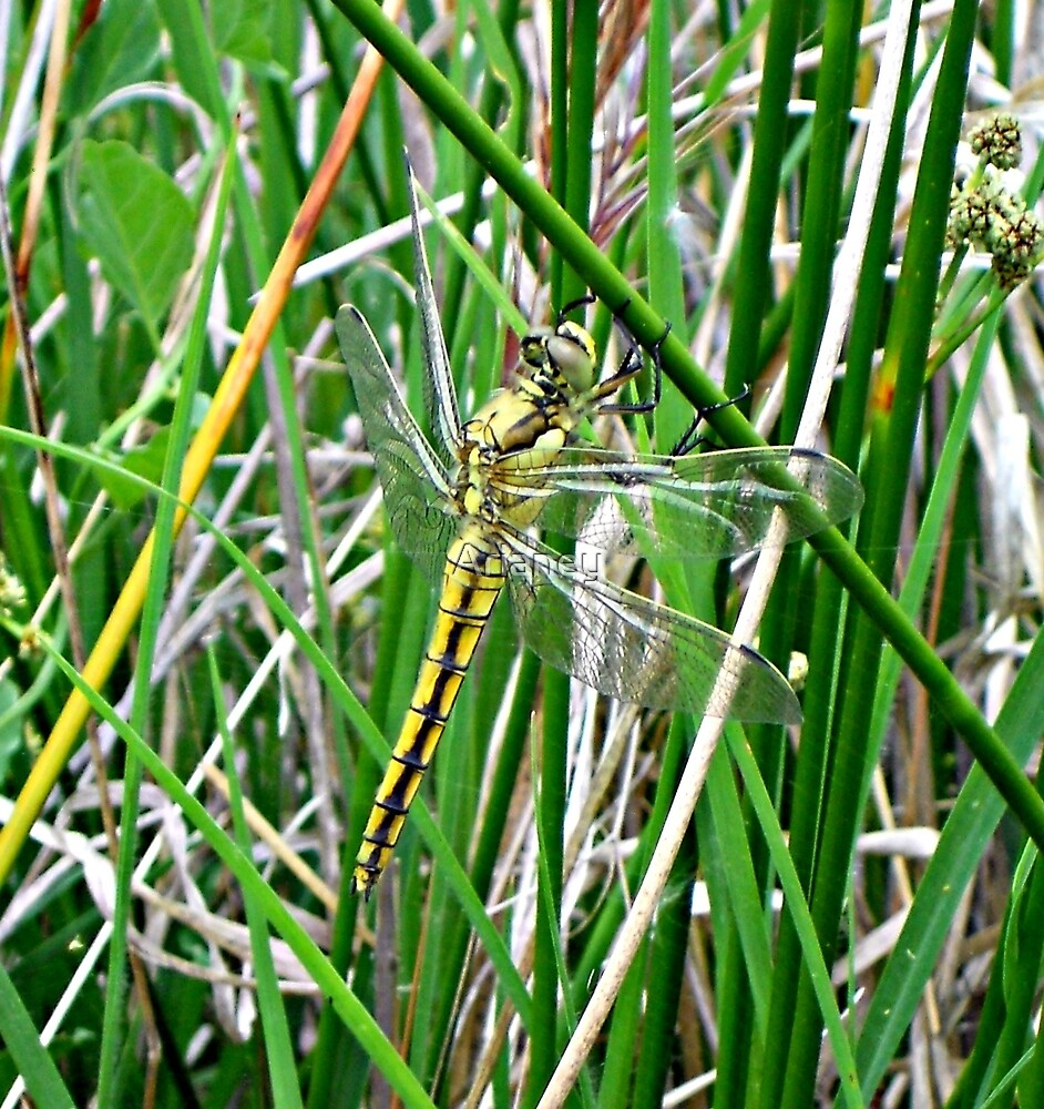 Black-Tailed Skimmer /Orthetrum Cancellatum (female) by Arianey