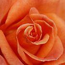 Peach Rose by Martina Fagan