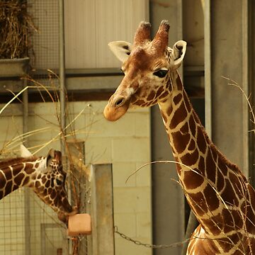 Giraffes Young and Old At Whipsnade by PathfinderMedia