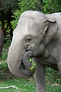 Asiantic Elephant by Jason Asher