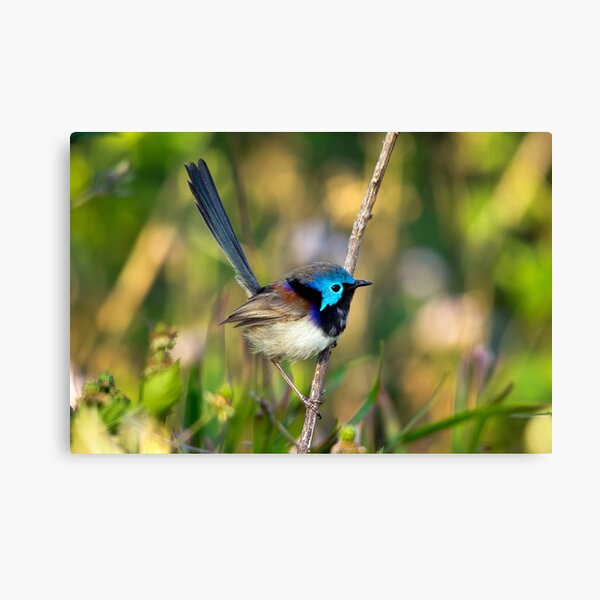 Variegated Fairy Wren, Maleny Queensland Canvas Print