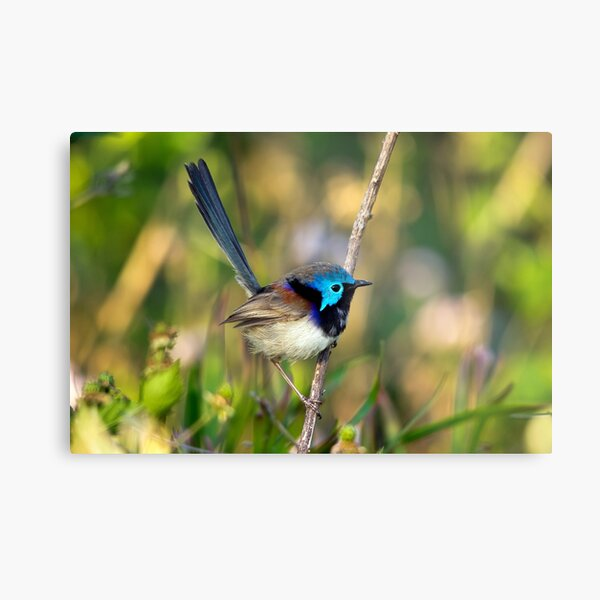 Variegated Fairy Wren, Maleny Queensland Metal Print