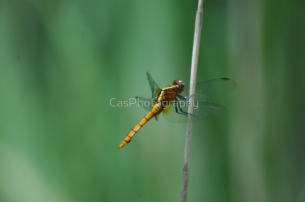 """(12/13) """"Goldie"""" by CasPhotography"""