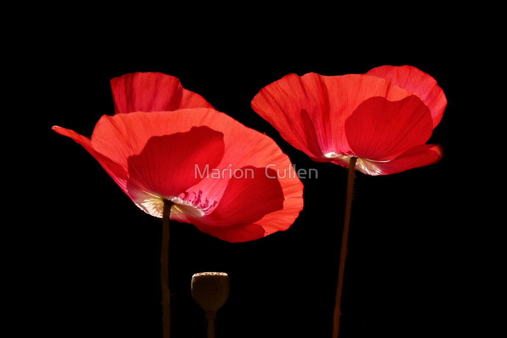 Sunshine Through Poppies by Marion  Cullen