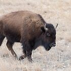American Bison walking in the field by Eivor Kuchta