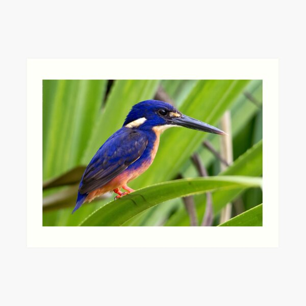 Azure Kingfisher, Kakadu National Park Art Print