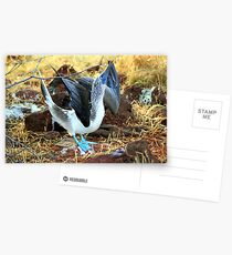 Blue-footed Booby: Mating Dance Postcards