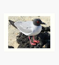 Swallow-tailed Gull Art Print