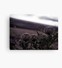 Thistles in The Peak District Canvas Print