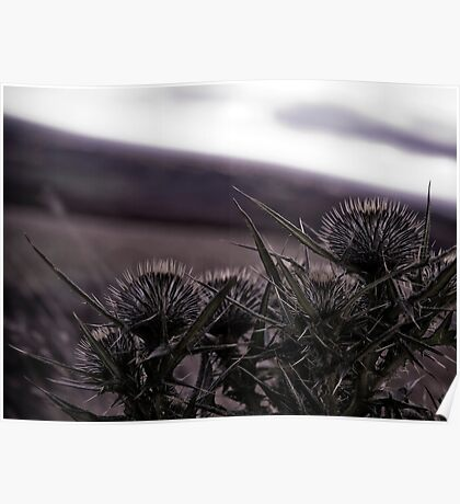 Thistles in The Peak District Poster