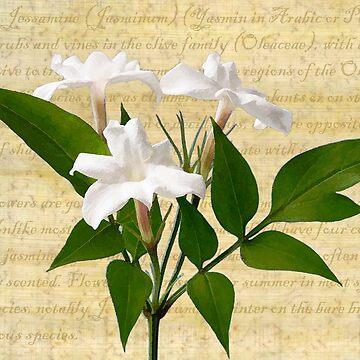 Jasminum polyanthum by JohnE
