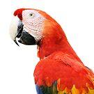 Scarlet Macaw or Aracanga, Costa Rica by Geoffrey Higges