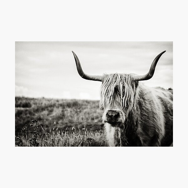 Highland Cow Photographic Print