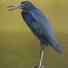 Little Blue Heron by Terry Best