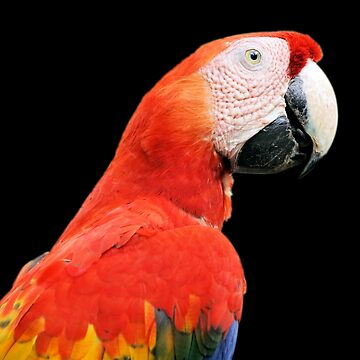 Scarlet Macaw or Aracanga, Costa Rica by gigges