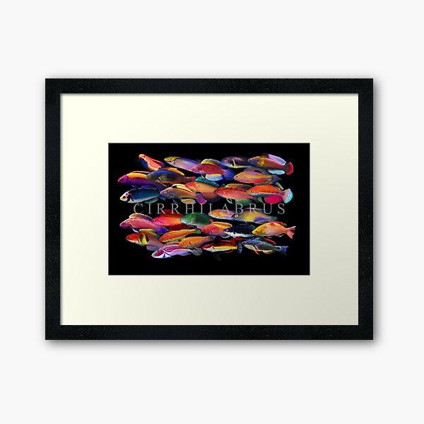 Cirrhilabrus Framed Art Print