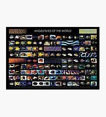 Angelfishes der Welt Fotodruck