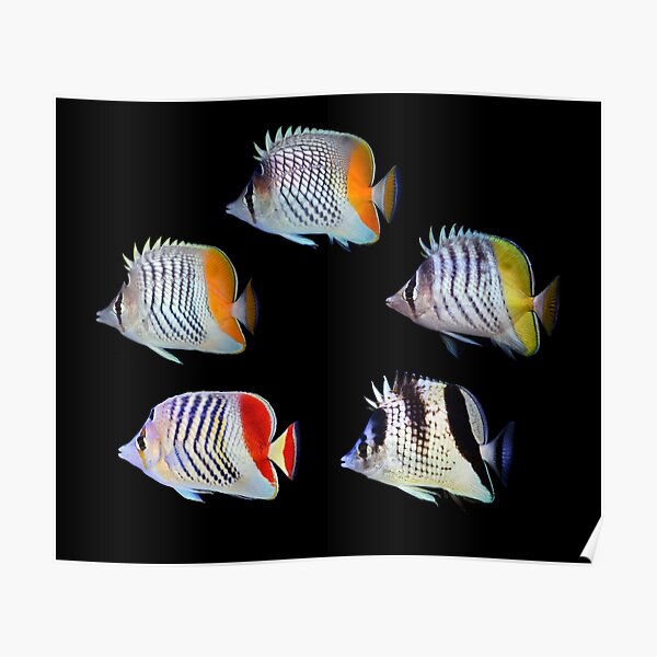 Butterflyfishes 2 Poster
