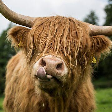 Highland Cow by AlfSharp