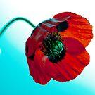 Poppy by margotk