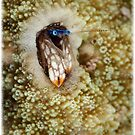 Coral Hermit Crab (Calendar Version) by Ross Gudgeon