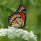 Viceroy Butterfly on Queen Anne's Lace by AriasPhotos