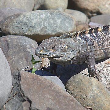 Female Green Iguana  by Carole-Anne
