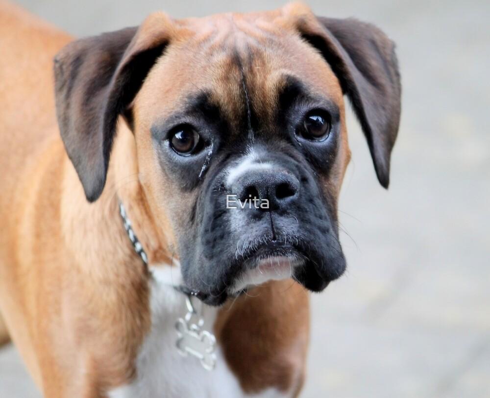 Dino - A Boxer Portrait - Boxer Dogs Series by Evita