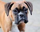 Dino - Ein Boxer Portrait - Boxer Dogs-Serie von Evita